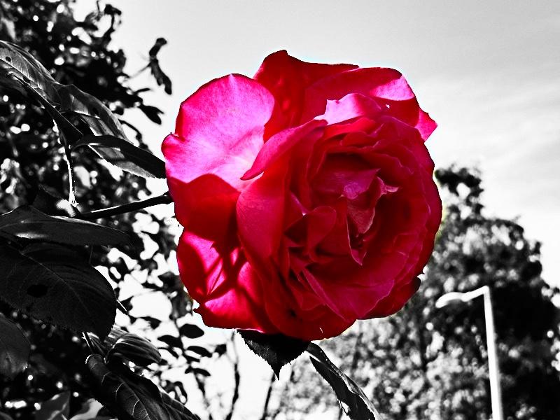 Roses3BW